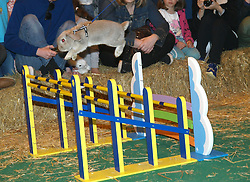 1 of 8 rabbits brought specially from Sweden  to the London Pet Show in London's Earls Court, jumps over one of the 50cm jumps, London Pet Show in London's Earls Court, Sunday May 12 2013. Photo by: Max Nash / i-Images
