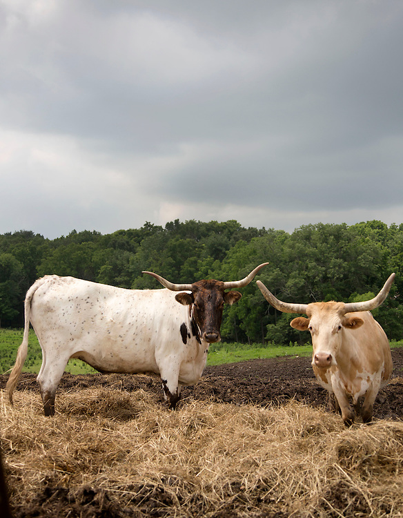 Longhorn cattle at the farm of Alfonso Contrisciani at his farm near Thornville. (Will Shilling/Crave)
