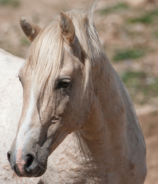 Portrait of Cloud the stallion, Pryor Mountains,MT