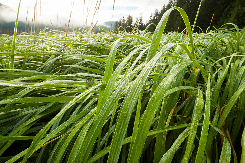 Drops of dew clinging to blades of grass in near Port Althorp in south east Alaska.