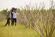 Farm workers collect dried jatropha fruits from trees at a farm outside the town of Lolito, roughly 80km east of Ghana's capital Accra, on Thursday Dec. 12, 2006. Jatropha - which grows naturally in Ghana and other parts of Africa - can be used to make biodiesel. The tree is drought-resistant and loses its leaves during the dry season.<br />