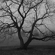 &quot;Old Gnarly&quot; B&amp;W <br />