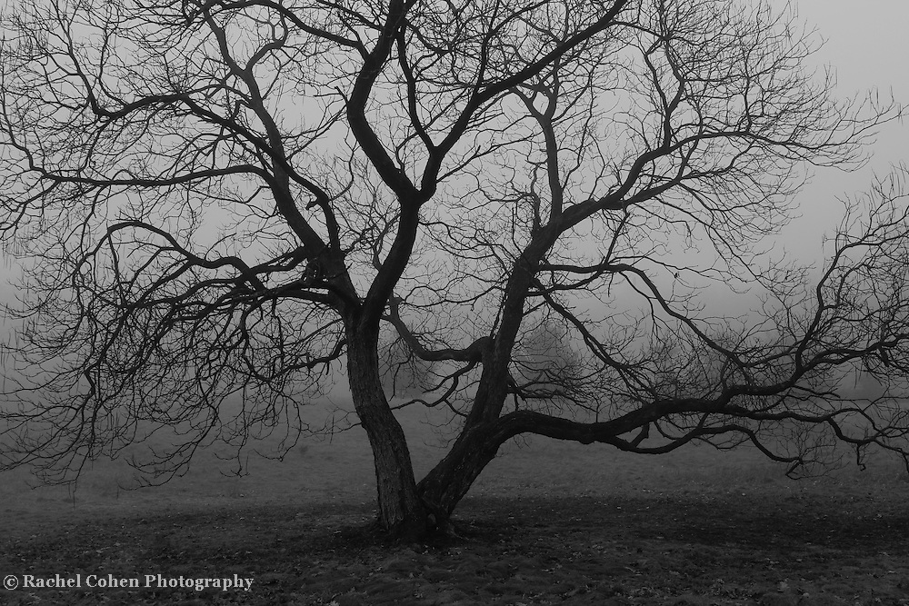 &quot;Old Gnarly&quot; B&amp;W <br /> <br /> Beautiful gnarled old tree within thick fog! A lovely moody image in B&amp;W!!<br /> <br /> All about Fog by Rachel Cohen