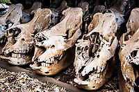 White rhino skulls killed by poachers lie covered in dust at a ranger's outpost. These skulls are needed as evidence in judicial proceedings but also are displayed as a harsh reminder of the costs of this genocide that is being waged against the world's rhino.