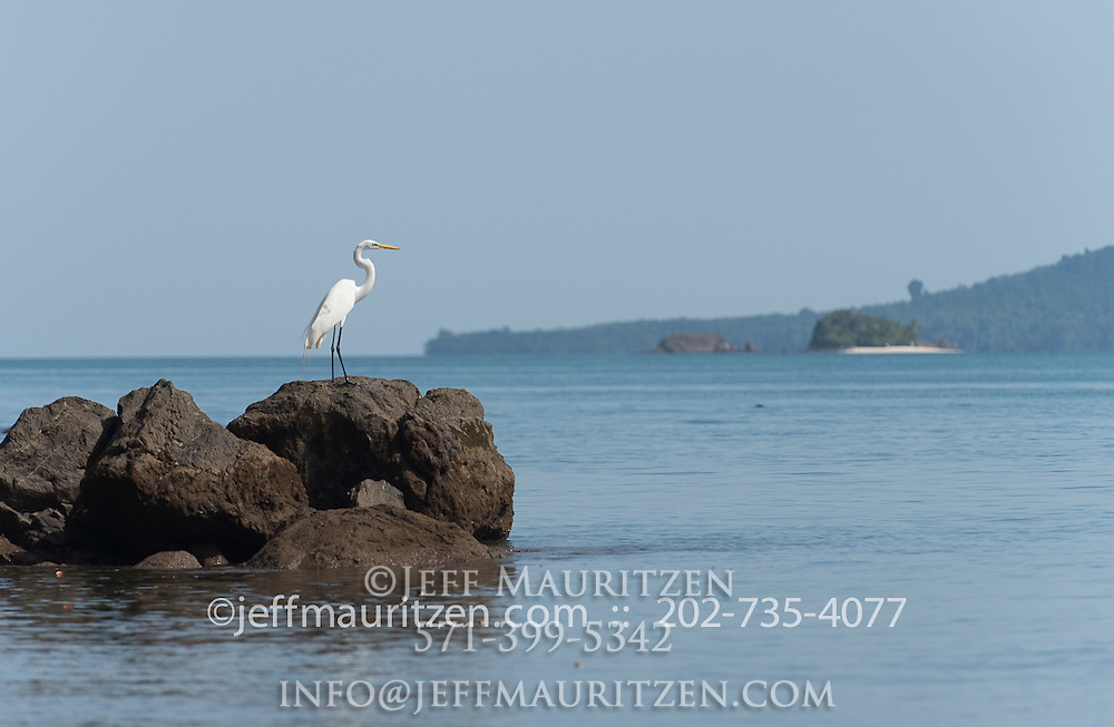 A Great egret stands on a rock on Coiba Island, a UNESCO world heritage site in Panama.