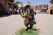 A donkey is eating some grass at a square in Marrakesch. Morocco. Africa.