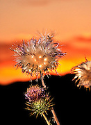 Dry New Mexico Thistles, Cirsium neomexicanum, are highlighted by the sunset along Redington Road, Redington Pass, Santa Catalina Mountains, Sonoran Desert, Tucson, Arizona, USA.