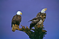 Mature and immature Bald Eagles (Haliaeetus leucocephalus) on a old tree stump.  Homer Spit, Alaska.