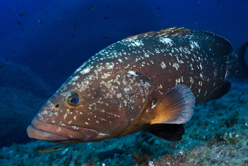 Dusky Grouper (Epinephelus marginatus) - 'endangered' in IUCN Red List<br /> France: Corsica, Lavezzi Islands, 'Merouville' ('Grouper City')