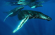 Kike Calvo Humpback Whale Photo Expedition