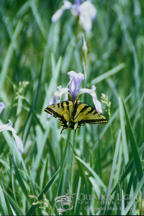 Yellow Butterfly drinking from a purple iris wildflower in a meadow in the Sierra Nevada mountains