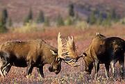 USA, Alaska, Bull Moose, Denali National Park