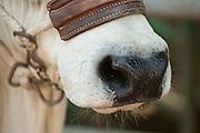 Brahman Cattle face details (Bos indicus), David City,Chiriqui province, Panama, Central America.