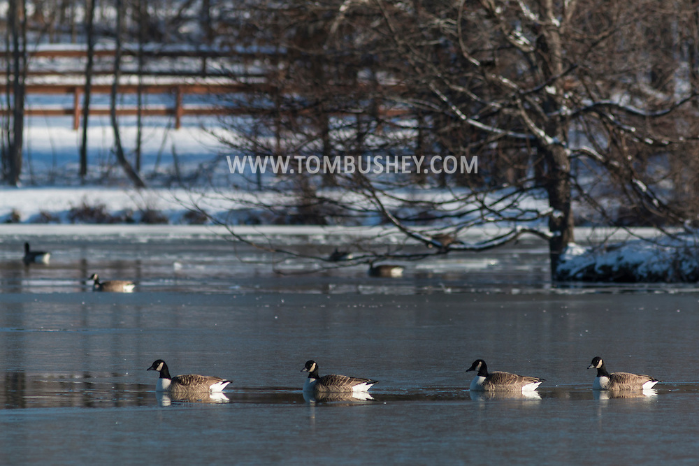 Middletown, New York - Canada geese gather in the lake at Fancher-Davidge Park on Feb. 1, 2017.