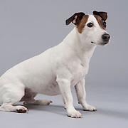 Alert Smooth coated Jack Russell Terrier Dog sitting on gray background.