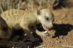 Im Alter von einem Monat verlassen junge Erdmännchen (Suricata suricatta) die Wurfhöhle und folgen älteren Gruppenmitgliedern, sogenannten Helfern, in die nähere Umgebung. Die Helfer, nicht die Elterntiere, sind es auch, die den Kleinen Insekten oder seltener wie hier kleine Reptilien bringen. Erst mit drei Monaten sind Erdmännchen in der Lage, sich mit selbsgefangener Beute zu ernähren. |  Suricate or Slender-tailed Meerkat (Suricata suricatta)