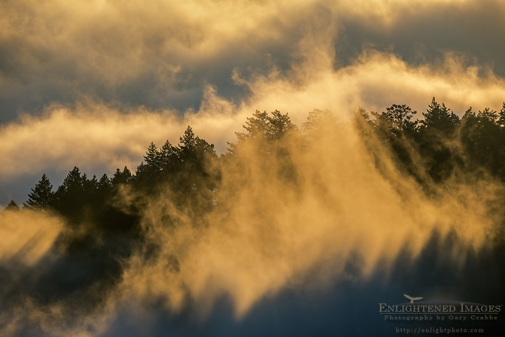 Fog and clouds rising over trees in forest along the Bolinas-Fairfax Ridge, Mount Tamalpais State Park, Marin County, California