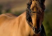 Sulphur Herd Wild Mustang