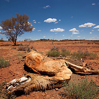 Australia, Northern Territory, Dead camel in outback desert