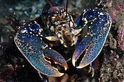 Common Lobster (Homarus gammarus),<br /> Scotland: Berwickshire, St Abbs (St Abbs and Eyemouth Voluntary Marine Reserve), October