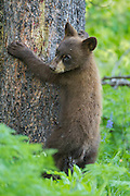 Black bear cub in early summer