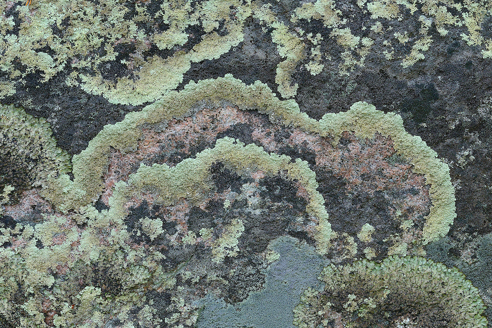 """Arctoparmelia centrifuga lichen, also called """"the Russian empire"""" due to its habit to expand outwards and deteriorate from within. Near the Årrenjarka lodge near Kvikkjokk and the Laponia UNESCO World Heritage Site, Greater Laponia rewilding area, Lapland, Norrbotten, Sweden"""