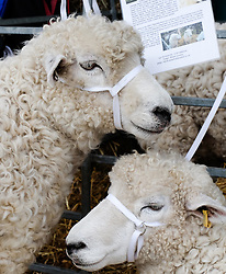 © Licensed to London News Pictures.14/07/15<br /> Harrogate, UK. <br /> <br /> Two sheep are tethered to a pen on the opening day of the Great Yorkshire Show.  <br /> <br /> England's premier agricultural show opened it's gates today for the start of three days of showcasing the best in British farming and the countryside.<br /> <br /> The event, which attracts over 130,000 visitors each year displays the cream of the country's livestock and offers numerous displays and events giving the chance for visitors to see many different countryside activities.<br /> <br /> Photo credit : Ian Forsyth/LNP