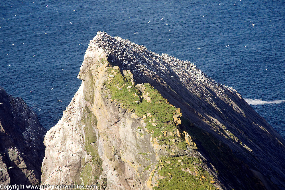 Northern Gannet bird colony, Morus bassanus, The Greing stacks, Hermaness, Unst, Shetland Islands, Scotland