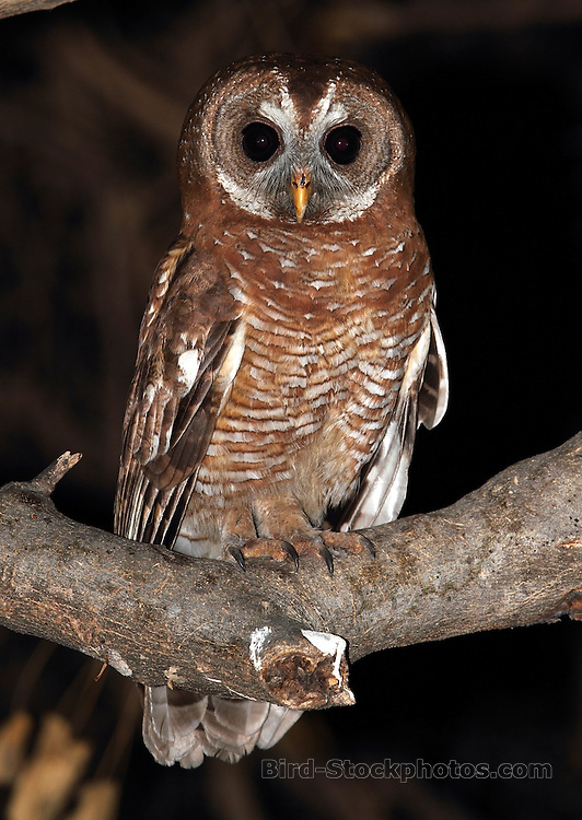 African Wood Owl, Strix woodfordii, Botswana, by Jonathan Rossouw