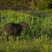 South America, Uruguay, Rocha, Parque Nacional Santa Teresa, Estacion Biologica Potrerillo de Santa Teresa, capybara, Hydrocoerus hydrochaeris, carpincho, adult