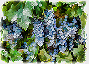 Wine Grapes Ready for Harvest in a vineyard