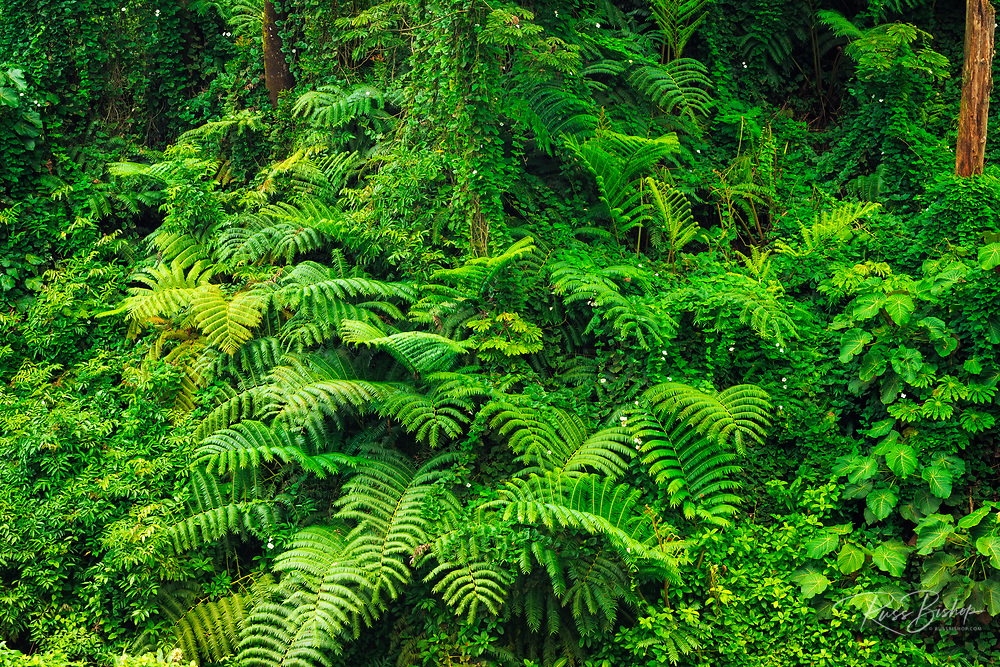 Lush ferns and overgrown vegetation, Akaka Falls State Park, The Big Island, Hawaii USA