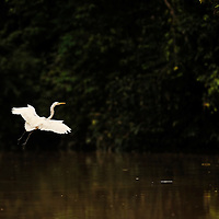 Intermediate Egret flying across a tributary of lower Kinabatangan river, Sabah, Borneo, Malaysia