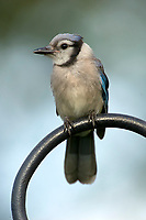 Blue Jay (Cyanocitta cristata), Garden Wellington, Florida, USA   Photo: Peter Llewellyn