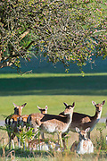 UNITED KINGDOM, London: 12 May 2020 <br /> Fallow deer enjoy the sunshine in Richmond Park early this morning. The weather in the capital, although starting sunny and cold today, is set to be cloudy for the rest of the week.