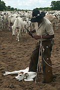 Cowboy 'Boiadeiro' (Sebastião Silva) and Pantanal calf to be ear marked.  They only cut a very small notch as these cattle use their ears as sun shades. Very important in the Pantanal heat during the summer months.<br /> Pantanal. Largest contiguous wetland system in the world. Mato Grosso do Sul Province. BRAZIL.  South America