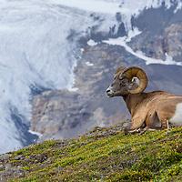 Bighorn sheep, Kananaskis Country, Alberta, Canada