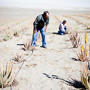 A fog collecting co-operative in Chanaral, northern Chile tend to an aloe vera farm they grow using fog water collected in large nets in the Atacama desert.