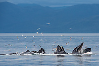 Humpback Whale bubble net feeding at Morris Reef in Chatham Strait, Southeast Alaska.