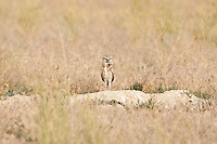 An Adult Burrowing Owl is spending a little time in the sun after attending to its young in its burrow.