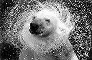 Deutschland, DEU, Stuttgart, 2000: Ein Eisbär (Ursus maritimus) schüttelt nach dem Auftauchen Wasser aus seinem nassen Fell, Wasser spritzt umher, Tierpark Wilhelma. | Germany, DEU, Stuttgart, 2000: Polar bear, Ursus maritimus, shaking off the water of it's wet fur after swimming, water splashing around it's head, Tierpark Wilhelma, Stuttgart. |