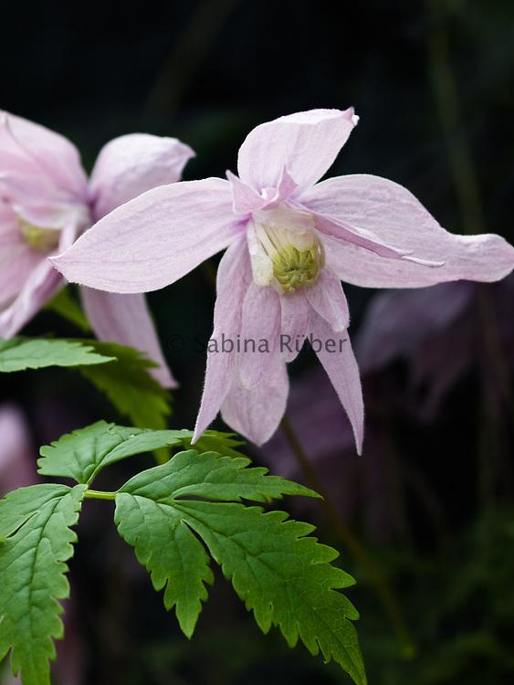Clematis 'Markham's Pink'  - double-flowered atragene clematis