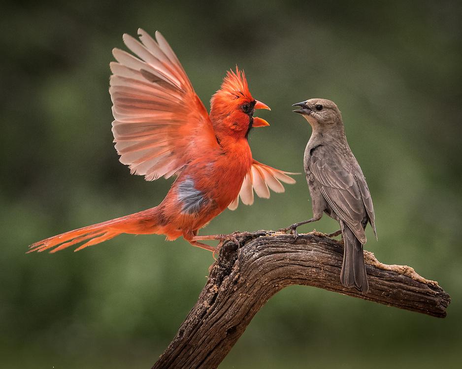 Cardinalis cardinalis, Molothrus ater