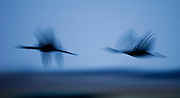 PlatteRiver2008.22-Sandhill Cranes make their annual stopover along the Platte River in central Nebraska during the spring migration.