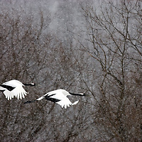 A pair of Japanese red-crowned cranes in flight.<br />