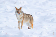 A coyote (Canis latrans) stands in a snow-covered field as it searches for food in Yellowstone National Park, Wyoming.