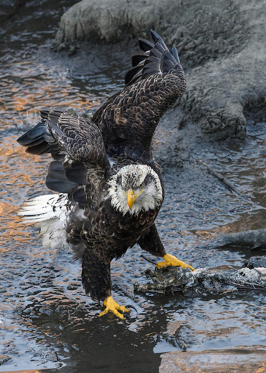 Wintering bald eagle on the Nooksack River, Deming, Washington