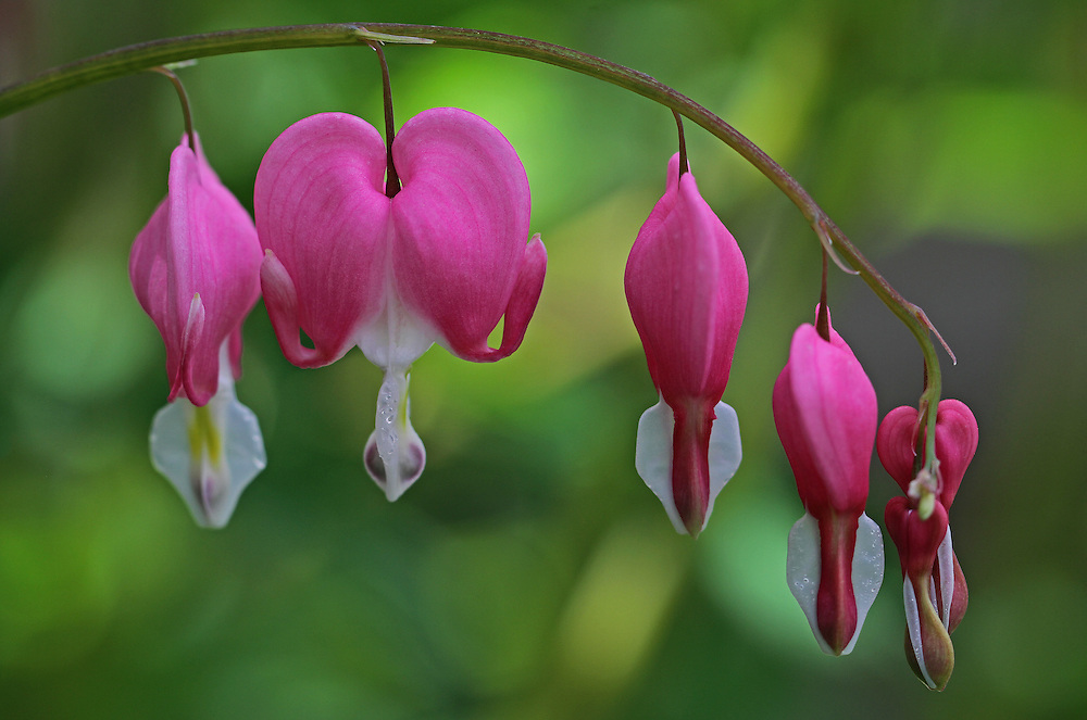 Bleeding heart floral close up photography art from flower photographer and Boston based master nature and flower photographer Juergen Roth. <br />