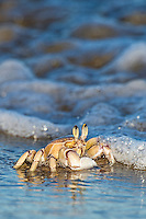 A Ghost Crab feeds in the surf zone of the Trafalgar Marine Protected Area. Southern KwaZulu Natal. South Africa.