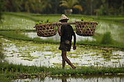 An elderly farmer walks narrow path between rice paddies in Central Bali and carries baskets with young rice seedlings ready to be planted. Rice is the main crop in Indonesia.